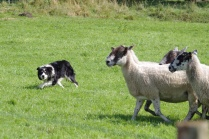 Sheep Dog Trial